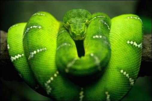 1serpent